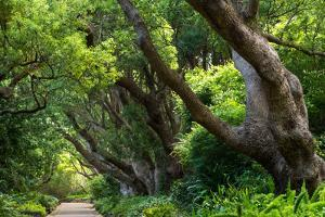 South Africa, 'Kirstenbosch', Avenue of Camphorwood by Catharina Lux