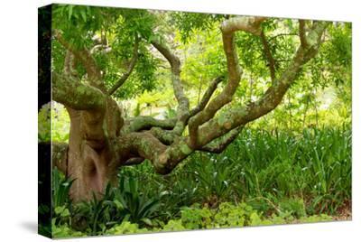 South Africa, 'Kirstenbosch', Camphorwood