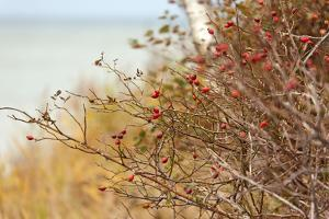 The Baltic Sea, R?gen, Rose Hip Shrub by Catharina Lux