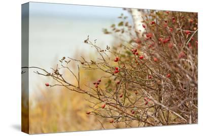 The Baltic Sea, RŸgen, Rose Hip Shrub by Catharina Lux
