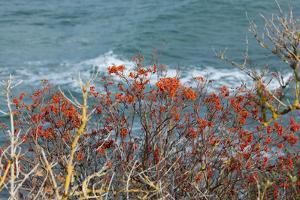 The Baltic Sea, R?gen, Steep Coast, North Beach, Rowanberries by Catharina Lux