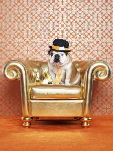 English Bulldog (Canis Lupus Familiaris) on Chair by Catherine Ledner