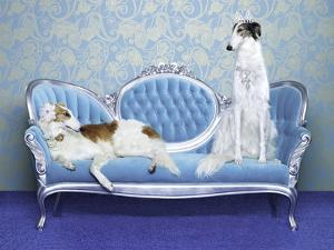 Two Borzoi (Canis Lupus Familiaris) on Couch. by Catherine Ledner