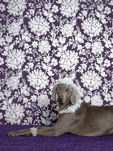 Weimaraner (Canis Lupus Familiaris) on Purple. by Catherine Ledner