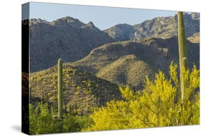 Arizona, Coronado NF. Saguaro Cactus and Blooming Palo Verde Trees