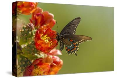 Arizona, Sonoran Desert. Pipevine Swallowtail Butterfly on Blossom