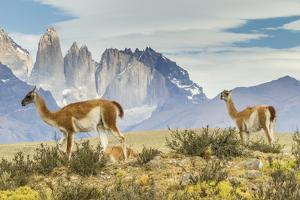 Chile, Patagonia, Torres del Paine. Guanacos in Field by Cathy & Gordon Illg