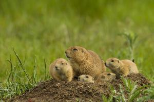 Colorado, Rocky Mountain Arsenal NWR. Prairie Dog Family on Den Mound by Cathy & Gordon Illg