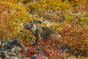 Ecuador, Galapagos National Park. Land Iguana in Colorful Vegetation by Cathy & Gordon Illg