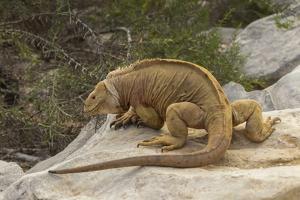 Ecuador, Galapagos National Park. Land Iguana on Boulder by Cathy & Gordon Illg