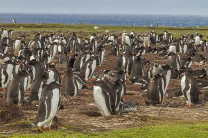 Falkland Islands, Bleaker Island. Gentoo Penguin Colony by Cathy & Gordon Illg