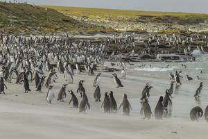 Falkland Islands, Bleaker Island. Magellanic and Gentoo Penguins by Cathy & Gordon Illg