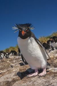 Falkland Islands, Bleaker Island. Rockhopper Penguin Close-up by Cathy & Gordon Illg