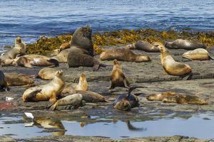 Falkland Islands, Bleaker Island. Southern Sea Lions Near Water by Cathy & Gordon Illg