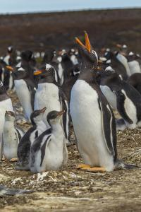Falkland Islands, East Falkland. Gentoo Penguin Colony by Cathy & Gordon Illg