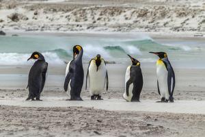 Falkland Islands, East Falkland. King Penguins on Beach by Cathy & Gordon Illg
