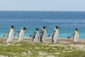 Falkland Islands, East Falkland. King Penguins Walking by Cathy & Gordon Illg