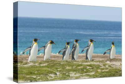 Falkland Islands, East Falkland. King Penguins Walking