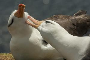 Falkland Islands, Saunders Island. Black-Browed Albatross Courtship by Cathy & Gordon Illg