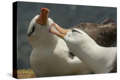 Falkland Islands, Saunders Island. Black-Browed Albatross Courtship