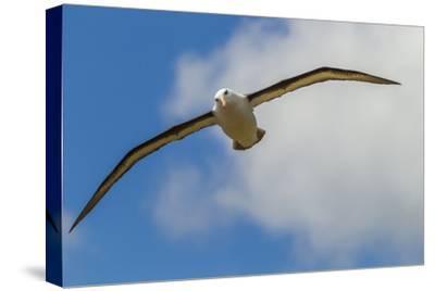 Falkland Islands, Saunders Island. Black-Browed Albatross in Flight