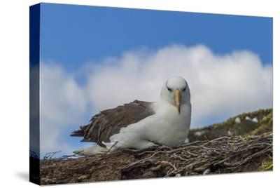 Falkland Islands, Saunders Island. Black-Browed Albatross Resting