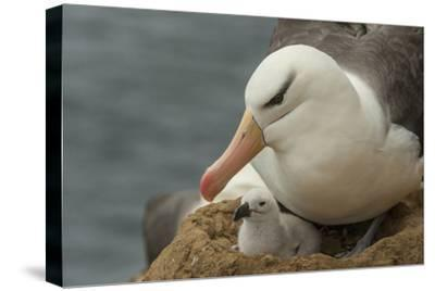 Falkland Islands, Saunders Island. Black-Browed Albatross with Chick