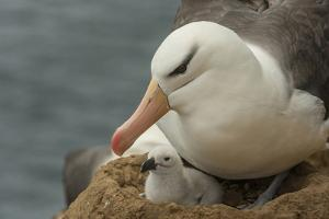 Falkland Islands, Saunders Island. Black-Browed Albatross with Chick by Cathy & Gordon Illg
