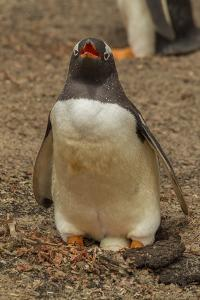Falkland Islands, Saunders Island, Gentoo Penguin with Egg by Cathy & Gordon Illg