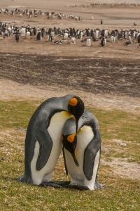Falkland Islands, Saunders Island. Gentoo Penguins and King Penguins by Cathy & Gordon Illg