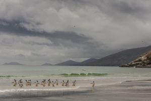 Falkland Islands, Saunders Island. Gentoo Penguins Coming Ashore by Cathy & Gordon Illg