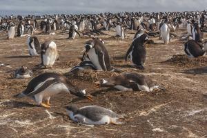 Falkland Islands, Sea Lion Island. Gentoo Penguin Colony by Cathy & Gordon Illg