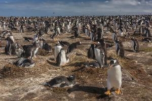 Falkland Islands, Sea Lion Island. Gentoo Penguin Colony by Cathy & Gordon Illg