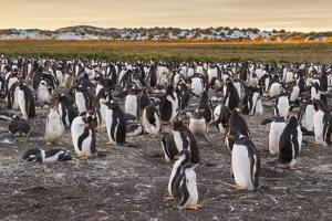 Falkland Islands, Sea Lion Island. Gentoo Penguins Colony by Cathy & Gordon Illg