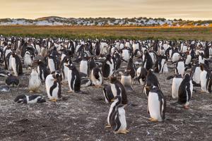 Falkland Islands, Sea Lion Island. Gentoo Penguins Colony by Cathy & Gordon Illg