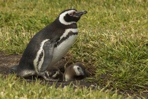 Falkland Islands, Sea Lion Island. Magellanic Penguin and Chicks by Cathy & Gordon Illg