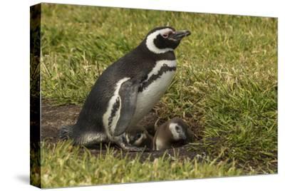 Falkland Islands, Sea Lion Island. Magellanic Penguin and Chicks