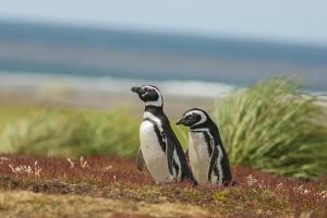 Falkland Islands, Sea Lion Island. Two Magellanic Penguins by Cathy & Gordon Illg