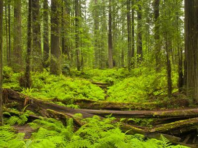 Forest Floor, Humboldt Redwood National Park, California, USA by Cathy & Gordon Illg