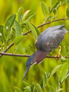 Green Heron, Florida, USA by Cathy & Gordon Illg