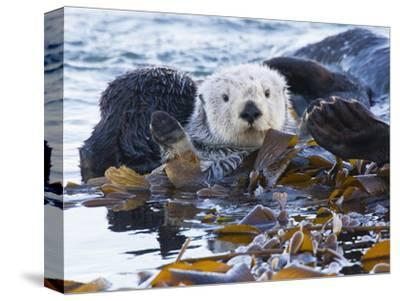 Sea Otter, San Luis Obispo County, California, USA