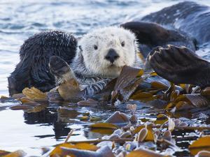 Sea Otter, San Luis Obispo County, California, USA by Cathy & Gordon Illg