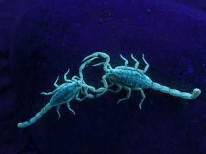 Two Scorpions Under Blacklight, Maverick County, Texas, USA by Cathy & Gordon Illg
