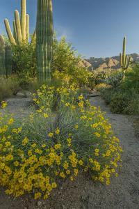 USA, Arizona, Coronado NF. Scenic of Saguaros and Paper Flowers by Cathy & Gordon Illg