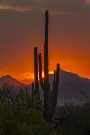 USA, Arizona, Saguaro National Park. Sunset on Desert Landscape