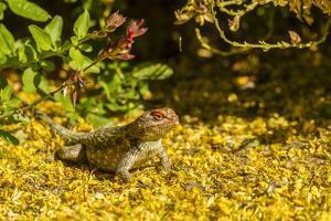 USA, Arizona, Sonoran Desert. Clark's Spiny Lizard Close-up by Cathy & Gordon Illg