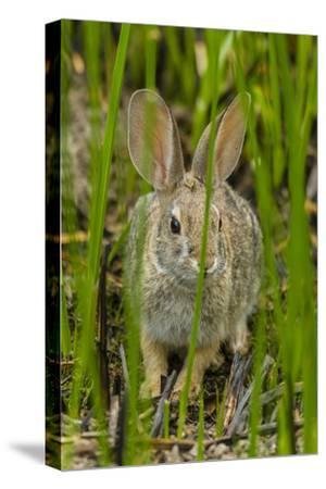USA, Arizona, Sonoran Desert. Desert Cottontail Rabbit in Grass