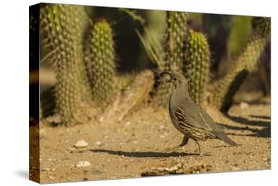 USA, Arizona, Sonoran Desert. Gambel's Quail and Cactus