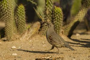 USA, Arizona, Sonoran Desert. Gambel's Quail and Cactus by Cathy & Gordon Illg