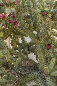 USA, Arizona, Sonoran Desert. Mourning Dove with Chick on Nest by Cathy & Gordon Illg